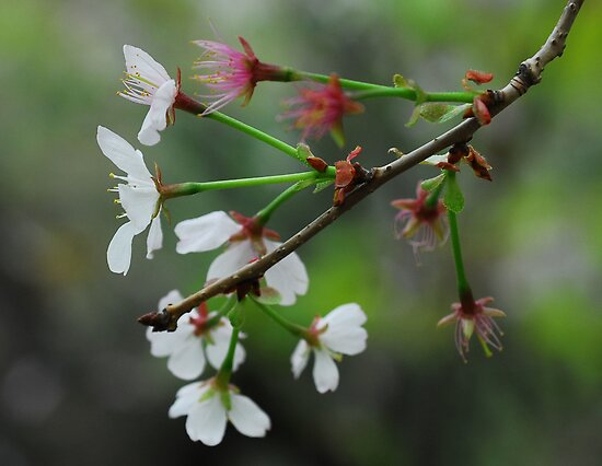 Cherry Blossoms (2) by Christian Eccleston
