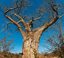 Baobab, Kruger National Park, South Africa by Erik Schlogl