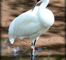 Whooping Crane 2 by AuntDot