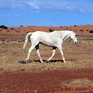 Old equine of the Outback. by equinespirit