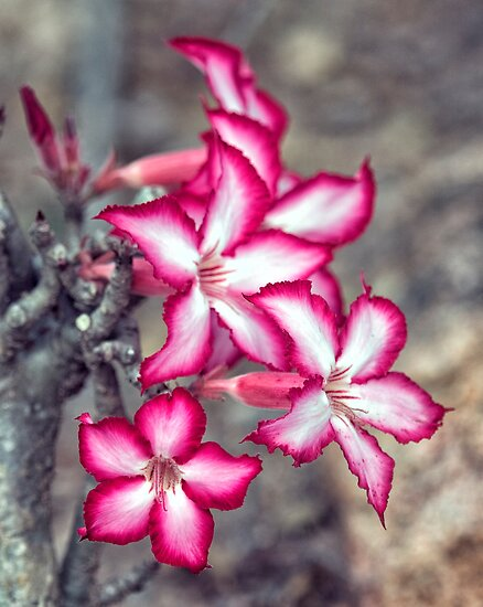 Impala Lilly by Michael  Moss