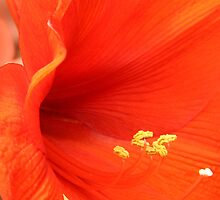 Amaryllis up close by lensbaby