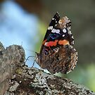 Red Admiral Butterfly by Penny Odom