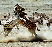 Zebra Fight by Carole-Anne