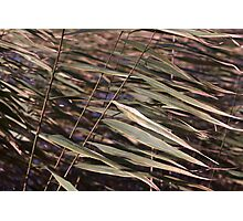 Reed diagonals Photographic Print