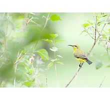Bird in the bush - honey eater  Photographic Print