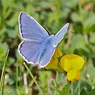 Uncommonly Pretty Common Blue by dilouise