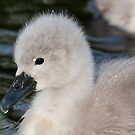 Hydrophobic Cygnet by Michael G Devereux