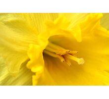 Yellow Daffodil Closeup Photographic Print