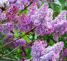Lilacs by James Brotherton