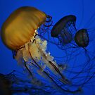 Jellyfish by Robin Lee