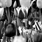 Black and White Tulips by Robin Lee