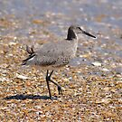 Outer Banks Willet by Robin Lee