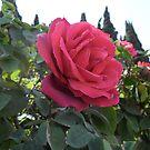 Red Rose by Ilunia Felczer