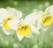 Enchanted Spring Daffodils by Natalie Kinnear