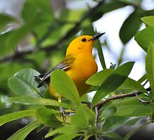Prothonotary Warbler by Kathy Baccari