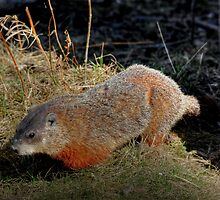 Groundhog by Larry Trupp
