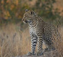 Young Leopard by Jane Horton