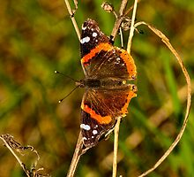 Red Admiral Butterfly by Thomas Young