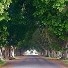 Fig Tree Avenue, Grafton, NSW by SunshineKaren