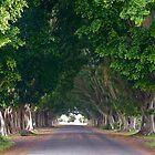 Fig Tree Avenue, Grafton, NSW by SunshineKaren