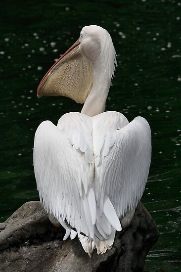 Great White Pelican by Carole-Anne