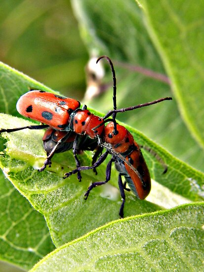 Red Milkweed Beetles by Ron Russell