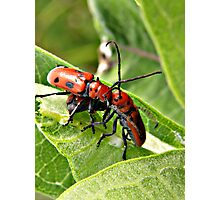 Red Milkweed Beetles Photographic Print