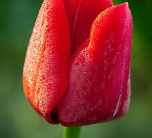 Dewey Tulip by Inge Johnsson