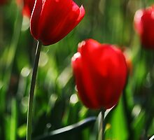 Red Tulips by Michael Deeble