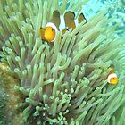 Clown fish by Jclokey