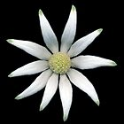Flannel Flower 2012 by DavidCG