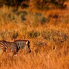 Zebra Foal at Sunset by Michael Deeble