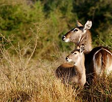 Two Waterbucks by Michael Deeble