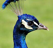 Peacock by dgscotland
