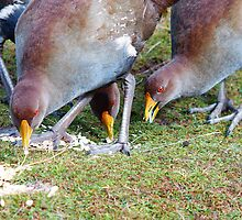 Native Hens feeding  by Leitz by Ron Co