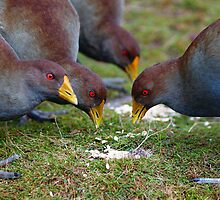 Native Hens feeding  by Leitz 135mm by Ron Co