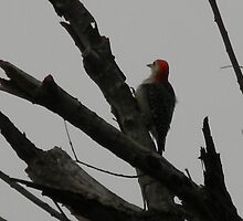 Red-Bellied Woodpecker Looks a Little Plump by Navigator