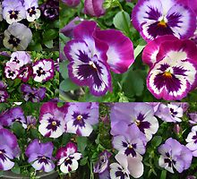 Collage of Pansies by alycanon