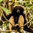 Gibbon on alert by Luke Kliman