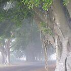 Misty Morning: Fig Tree Avenue, Grafton by SunshineKaren
