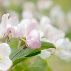 Soft freshness of apple blossom by steppeland