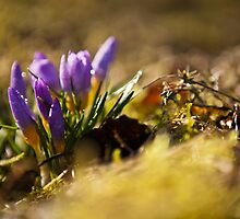 Crocuses in morning light by Tiina Gill