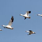 On the Wing - Lesser Snow Geese, Winchester Ontario by Stephen Stephen