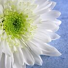 White Chrysanthemum  by SunshineKaren