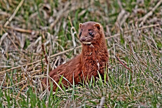 Mink...Cute Eh!!! by Larry Trupp