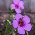 Beautiful Bee on Oxalis Flower by aprilann