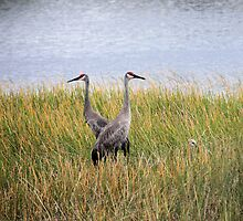 Sandhill Cranes with Hiding Baby by Rosalie Scanlon