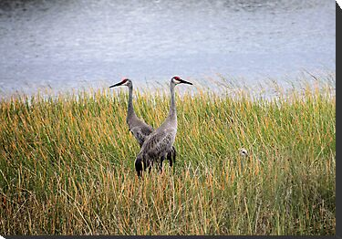 Sandhill Cranes with Hiding Baby by Rosalie Scanlon