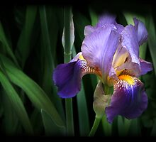 Shaded Iris by Nadya Johnson